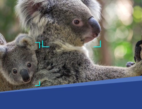 Un dispositif de reconnaissance faciale basé sur l'IA pour protéger les koalas